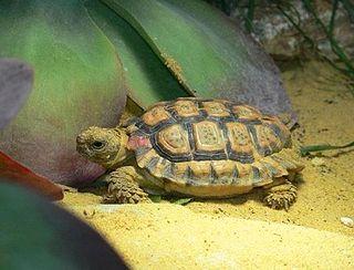<i>Chersobius signatus</i> Species of tortoise