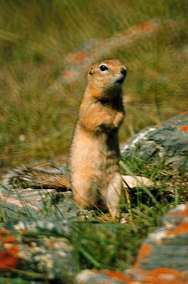 https://upload.wikimedia.org/wikipedia/commons/thumb/e/ee/Spermophilus_undulatus1.jpg/265px-Spermophilus_undulatus1.jpg