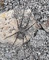 Spider NZ Anoteropsis aerescens.jpg