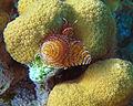 Spirobranchus giganteus (Christmas tree worm) (San Salvador Island, Bahamas) 1 (15957826679).jpg
