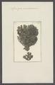 Spongia membranacea - - Print - Iconographia Zoologica - Special Collections University of Amsterdam - UBAINV0274 112 02 0053.tif