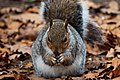 Squirrel - RSPB Minsmere (37595377170).jpg
