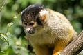 Squirrel Monkey - Flickr - p a h (2).jpg