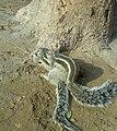 Squirrel mating in Sindh Pakistan 3.jpg