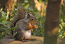 Squirrel with nut.jpg