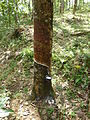 Sri Lanka-Rubber plantation (2).JPG