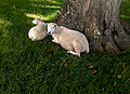 Stable Lake sheep in the shade.jpg