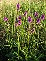 Stachys officinalis Bukwica zwyczajna 2020-07-12 02.jpg