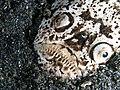 Stargazer (Uranoscopus sp.) (25377308547).jpg