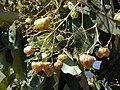 Starr-010304-0485-Tectona grandis-fruits-Kihei-Maui (24449660151).jpg