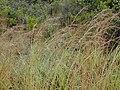 Starr-011205-0111-Hyparrhenia rufa-habit-Hwy11 HAVO-Hawaii (24543933925).jpg