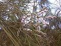 Starr-030923-0208-Tamarix aphylla-flowers-LZ1-Kahoolawe (24344683730).jpg