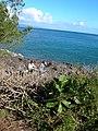 Starr-041028-0163-Clusia rosea-sapling-Kapalua-Maui (24350577339).jpg