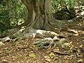 Starr-050517-1563-Ficus macrophylla-habit-Puu o Hoku Ranch-Molokai (24395522719).jpg