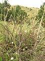 Starr-050816-3596-Erigeron karvinskianus-patch in pasture-Waiale Gulch-Maui (24775574646).jpg