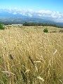 Starr-050818-3972-Anthoxanthum odoratum-habit-Kahakapao Gulch-Maui (24480903010).jpg