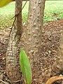 Starr-060916-8967-Cordyline fruticosa-bark-Makawao-Maui (24865407425).jpg