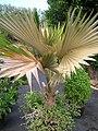 Starr-061108-9815-Pritchardia arecina-in pot-Hoolawa Farms-Maui (24842460406).jpg