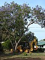 Starr-080417-4083-Jacaranda mimosifolia-flowering habit with backhoe parked beneath-Makawao-Maui (24278801924).jpg