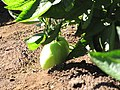 Starr-091020-8380-Solanum muricatum-fruit-Kula Experiment Station-Maui (24359612513).jpg