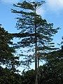 Starr-091104-0828-Terminalia sp-habit-Kahanu Gardens NTBG Kaeleku Hana-Maui (24894367651).jpg