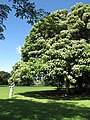 Starr-091104-9002-Aleurites moluccana-habit with Kim-Kahanu Gardens NTBG Kaeleku Hana-Maui (24357867794).jpg