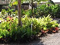 Starr-110209-0935-Alpinia zerumbet-habit-Resort Management Group Nursery Kihei-Maui (25048648446).jpg