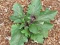 Starr-110411-4967-Solanum melongena-habit in vegetable garden-Hawea Pl Olinda-Maui (24451876344).jpg