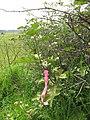 Starr-110502-5287-Solanum torvum-flagged plant-Kula-Maui (24798550300).jpg
