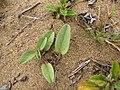 Starr-110616-6237-Ipomoea imperati-leaves-Keopuolani Park-Maui (25070900566).jpg
