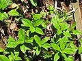 Starr-120522-6267-Sphagneticola trilobata-habit-Iao Tropical Gardens of Maui-Maui (24516555513).jpg