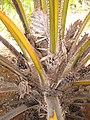 Starr-120702-7934-Elaeis guineensis-flowers and fruit-USDA Plant Materials Center-Molokai (25093056941).jpg