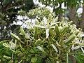 Starr-130312-2437-Murraya koenigii-flowers-Pali o Waipio Huelo-Maui (24911703900).jpg