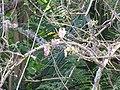 Starr-130320-3522-Gliricidia sepium-flowers-Anini Beach-Kauai (24913678230).jpg