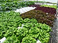 Starr-150326-0886-Lactuca sativa-several varieties in Hydroponics greenhouse with Kim-Town Sand Island-Midway Atoll (24899417129).jpg