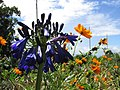Starr-170513-8638-Agapanthus praecox subsp orientalis-flowers dark purple with cosmos-Hawea Pl Olinda-Maui (35098434041).jpg
