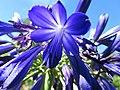 Starr-170923-0293-Agapanthus praecox subsp orientalis-flowers-Hawea Pl Olinda-Maui - Flickr - Starr Environmental.jpg