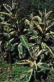 Starr-980529-4238-Ficus elastica-habit-Enchanting Floral Gardens of Kula-Maui (24514043155).jpg