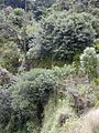 Starr 010908-0020 Ficus cf. platypoda.jpg