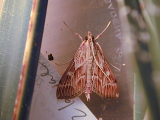 <i>Omiodes</i> Genus of moths
