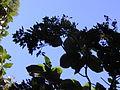 Starr 020518-0011 Cinchona pubescens.jpg