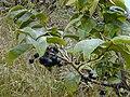 Starr 020925-0088 Antidesma platyphyllum.jpg
