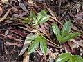 Starr 030405-0031 Passiflora edulis.jpg