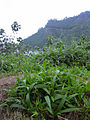 Starr 040209-0237 Setaria palmifolia.jpg