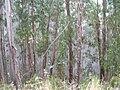 Starr 050831-7749 Eucalyptus globulus.jpg