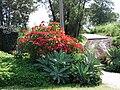 Starr 061201-1747 Euphorbia pulcherrima.jpg