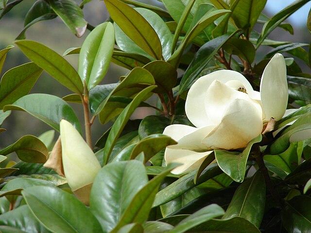 File starr 070618 7342 magnolia - Magnolia grandiflora ...