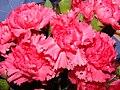 Starr 070730-7934 Dianthus caryophyllus.jpg