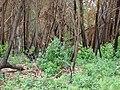 Starr 070908-9286 Eucalyptus globulus.jpg