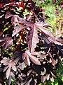 Starr 071024-0043 Hibiscus acetosella.jpg